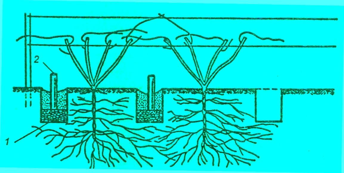 При выращивании винограда в